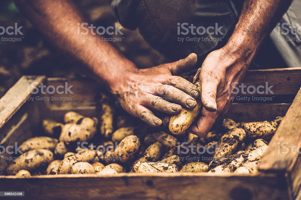 Farmer Cleaning His Potatoe with Bare Hands stock photo