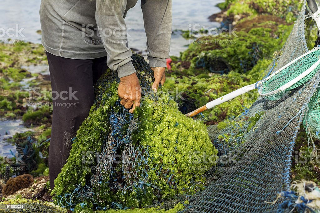 Farmer collecting seaweed in Indonesia stock photo
