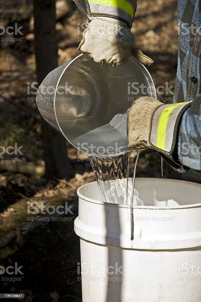 Farmer collects maple sap into bucket to make syrup stock photo
