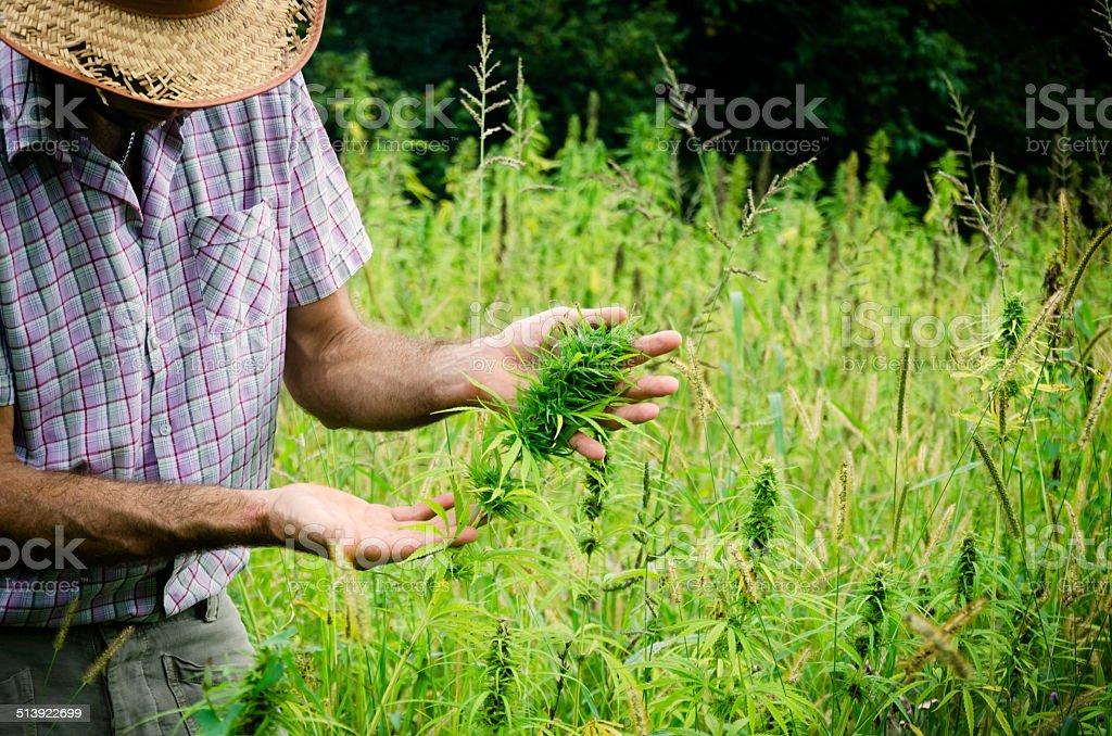 Farmer controling the hemp crop stock photo