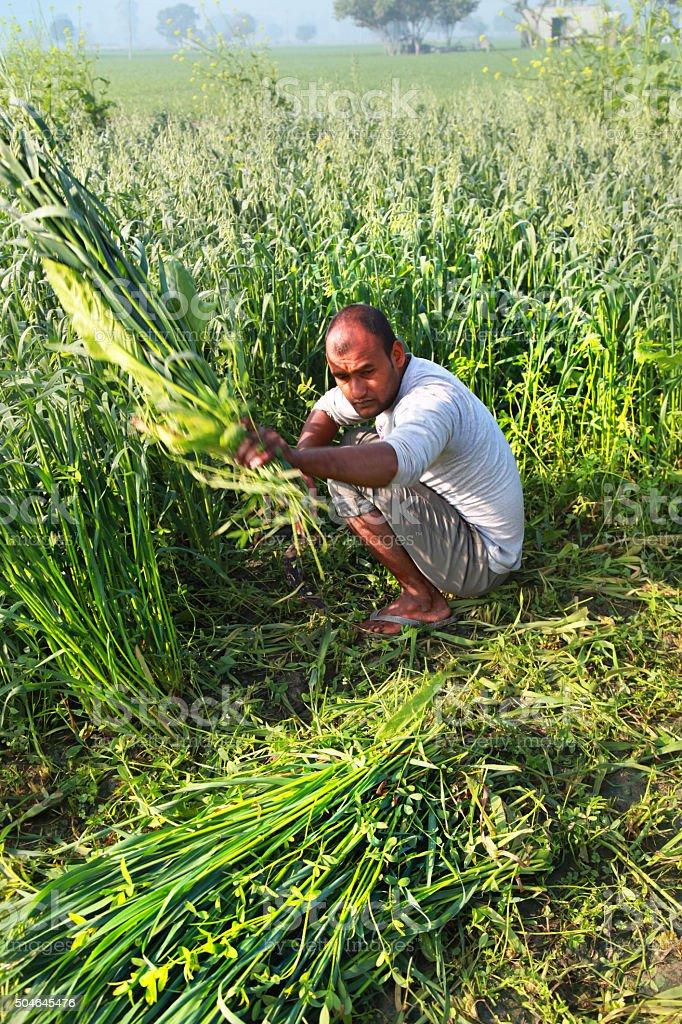 Farmer Cutting Crop in the Field stock photo