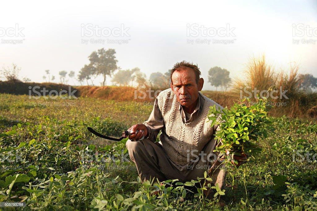 Farmer cutting green grass use as animal fodder stock photo