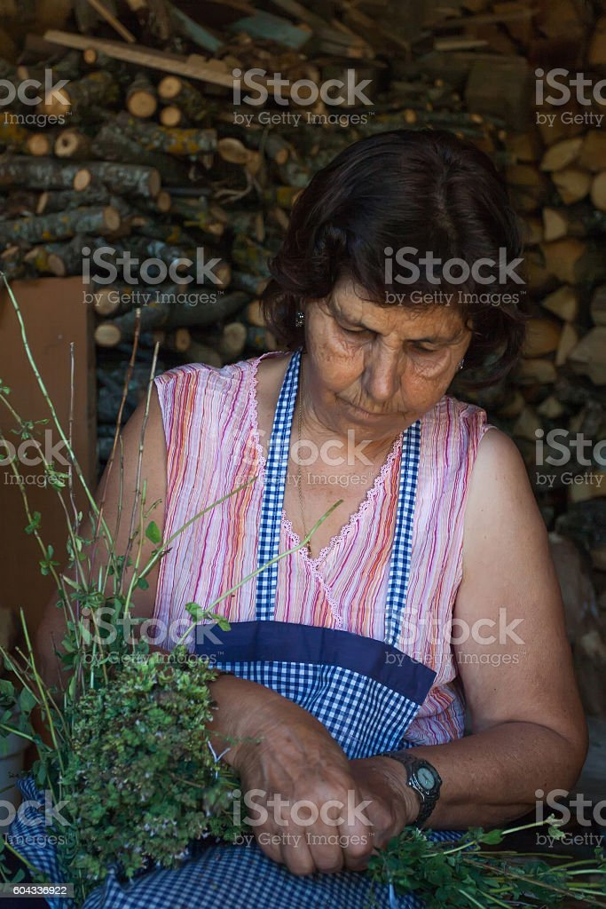 Farmer cutting sprigs of oregano and tying them into bundles. stock photo