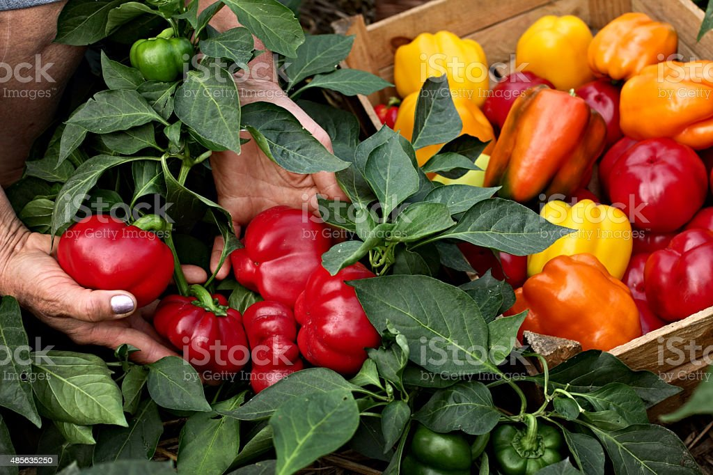 Farmer demonstrates the crop of Bell Pepper stock photo