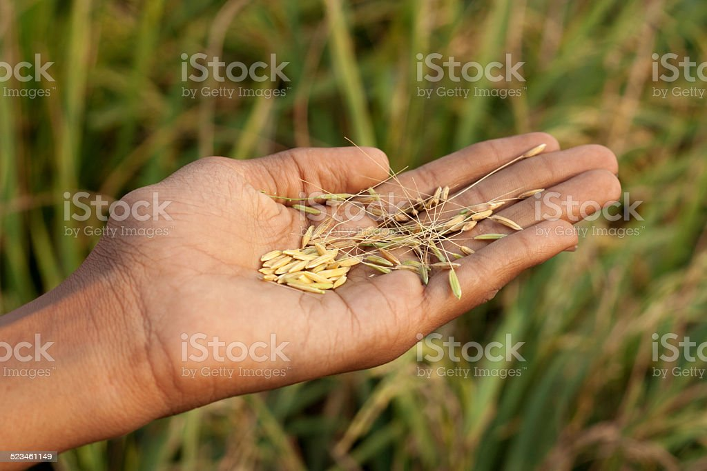 Farmer Examine the Crop stock photo