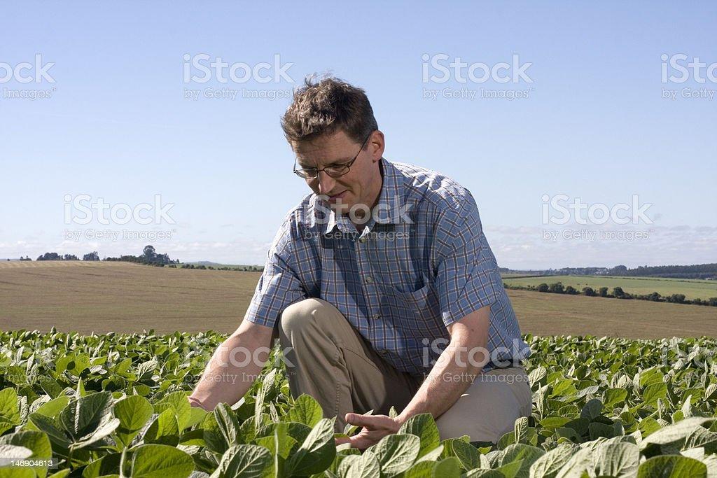 Farmer examining the crop royalty-free stock photo