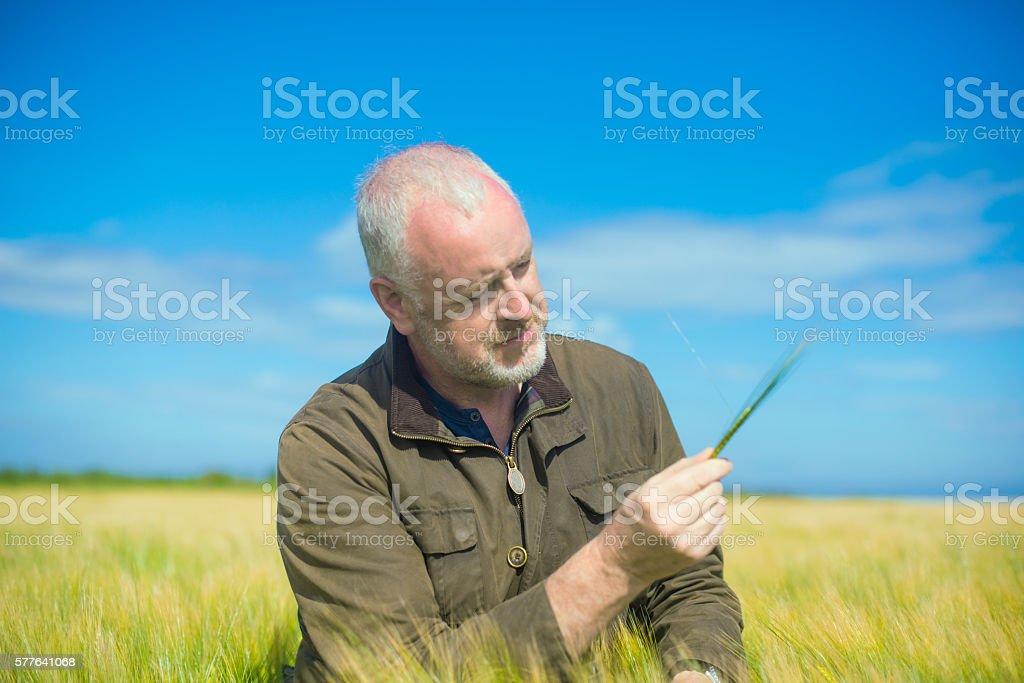 Farmer examining wheat in a field stock photo