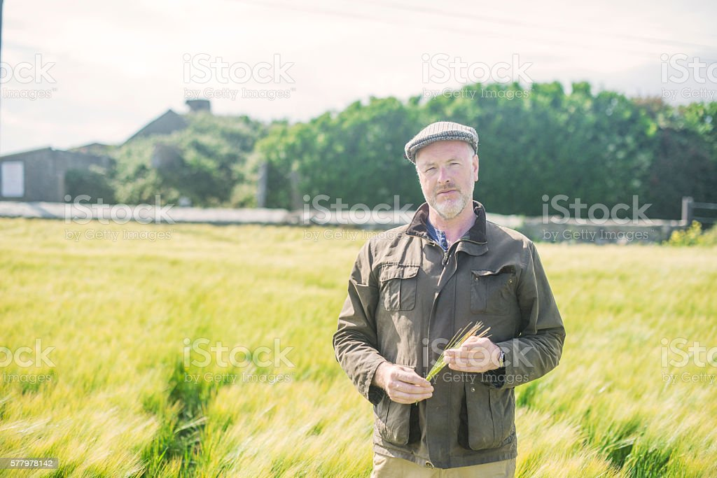 Farmer examining wheat in a field stock photo