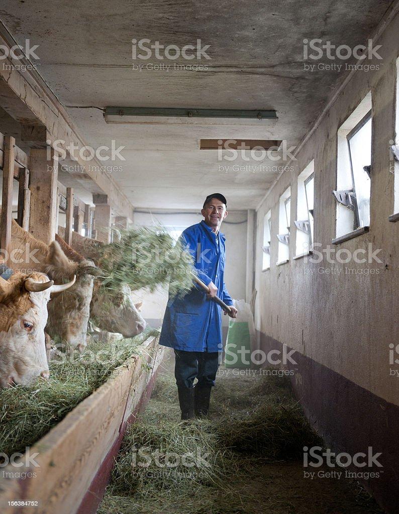 farmer feeding cows in barn stock photo