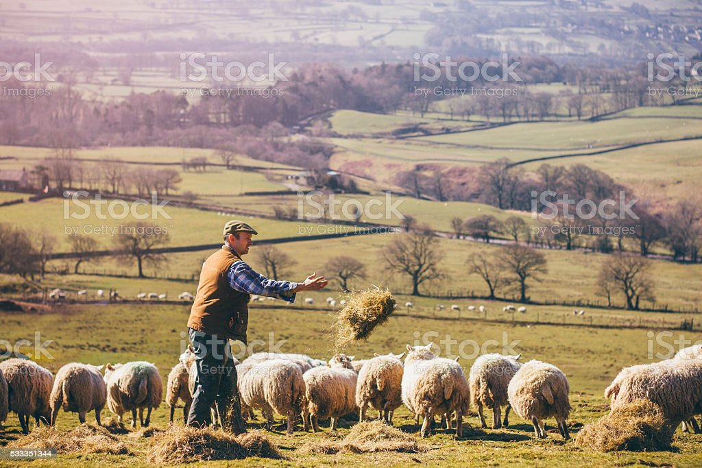 Farmer Feeding the Sheep stock photo