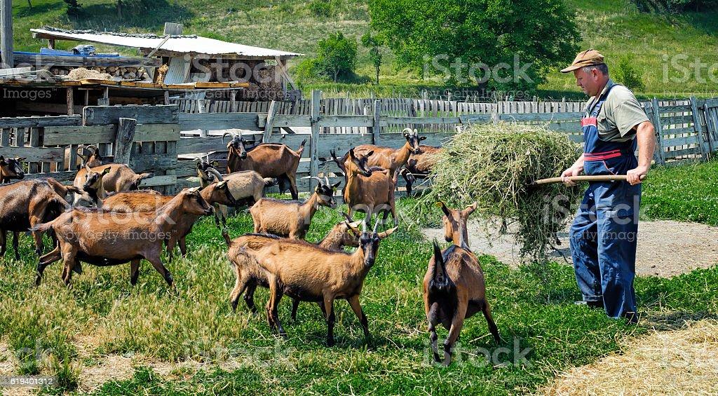 Farmer feeds goats stock photo
