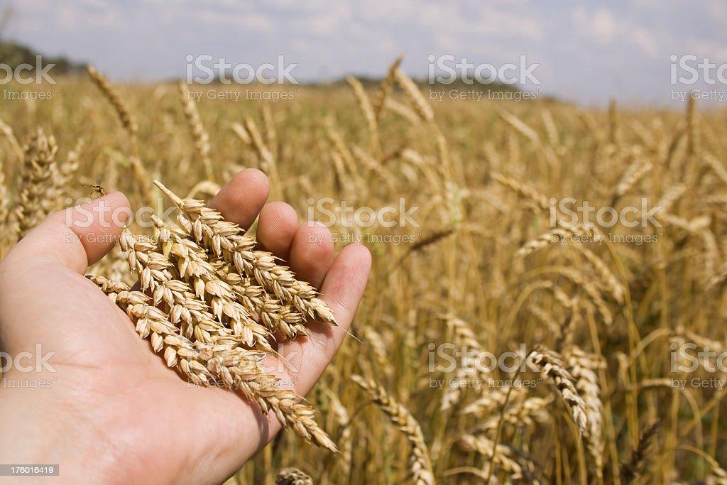 Farmer hand and wheat royalty-free stock photo