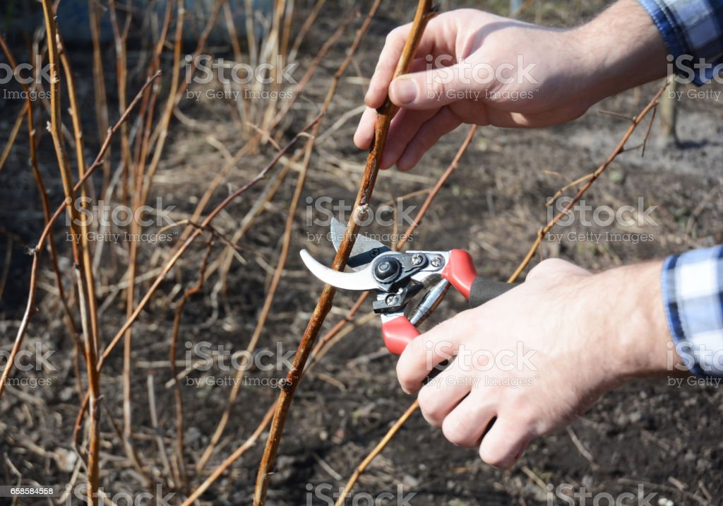 Farmer hand cutting red raspberry plant bush with bypass secateurs. stock photo