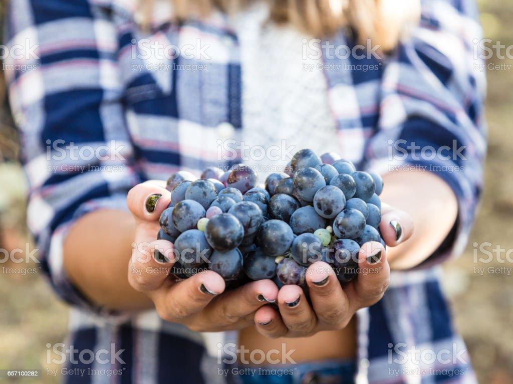 farmer hands holding bunch of grape stock photo