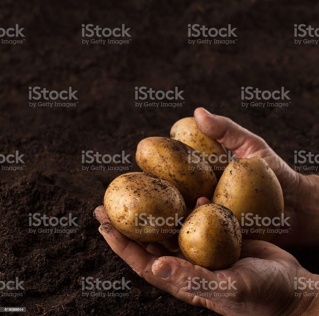 farmer hands holding potatoes above black ground stock photo