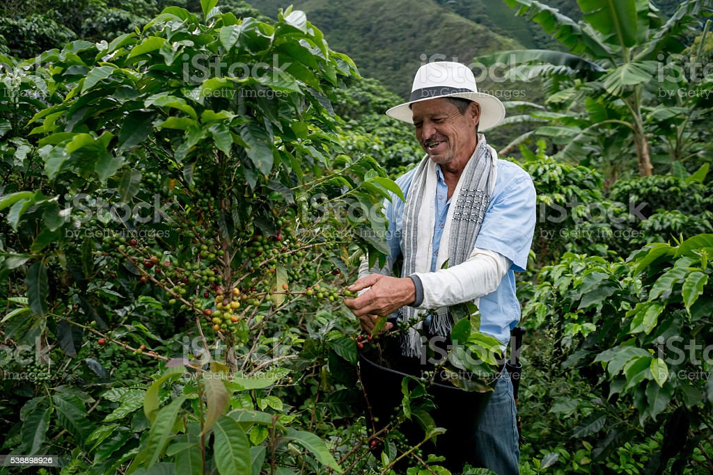 Farmer harvesting a coffee crop stock photo
