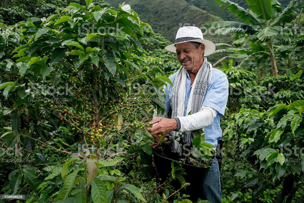 Farmer harvesting a coffee crop stock photo