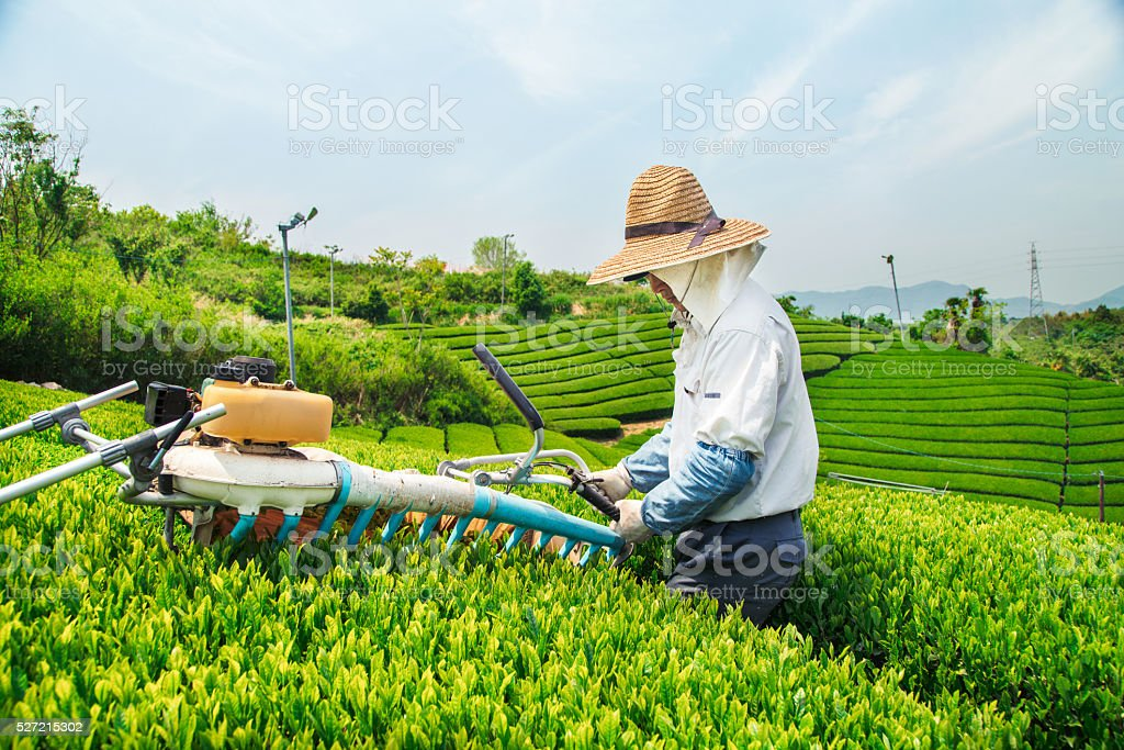 Farmer harvesting a crop of green tea leaves stock photo