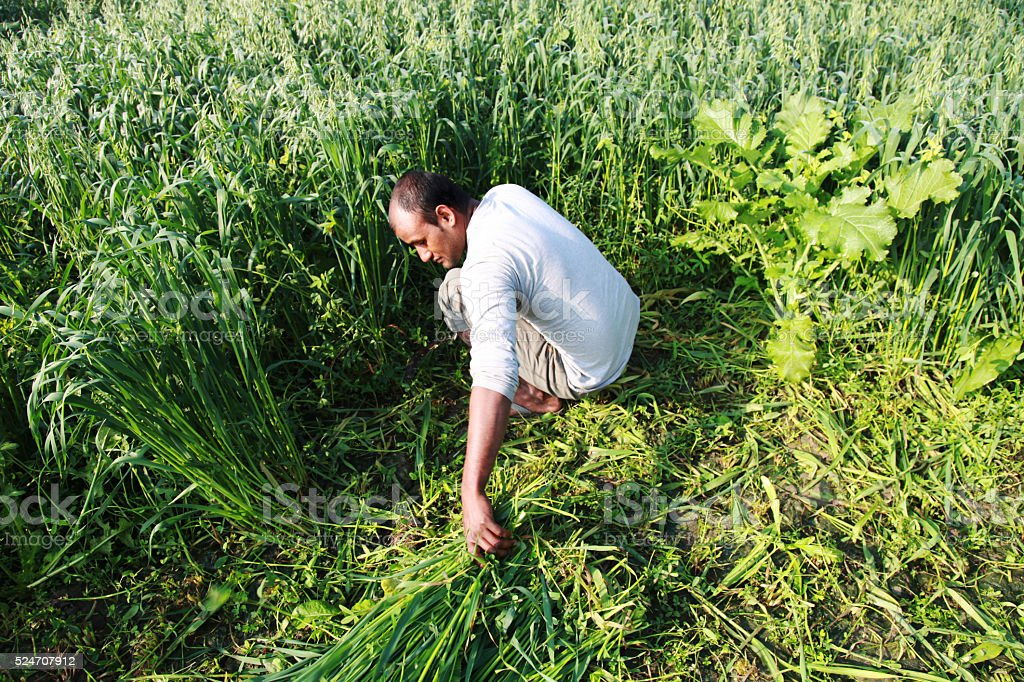 Farmer harvesting green lush for domestic cattle stock photo