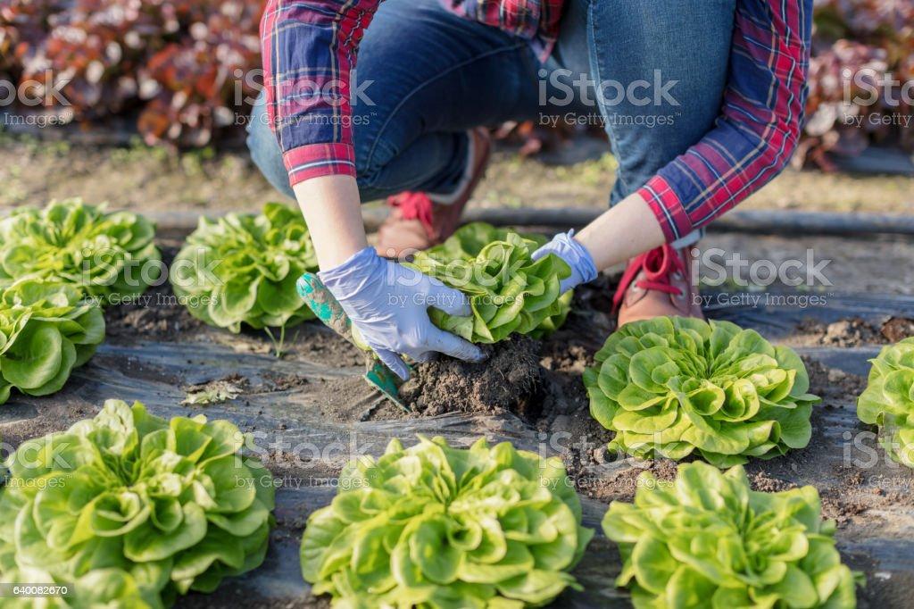 Farmer harvesting lettuce stock photo