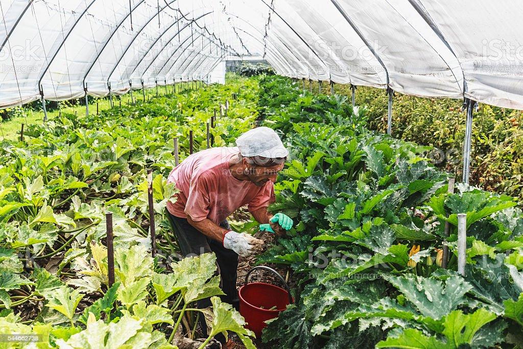 Farmer harvesting marrows stock photo