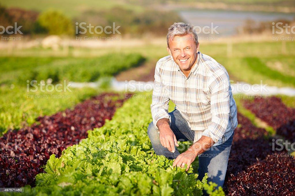 Farmer Harvesting Organic Salad Leaves On Farm stock photo