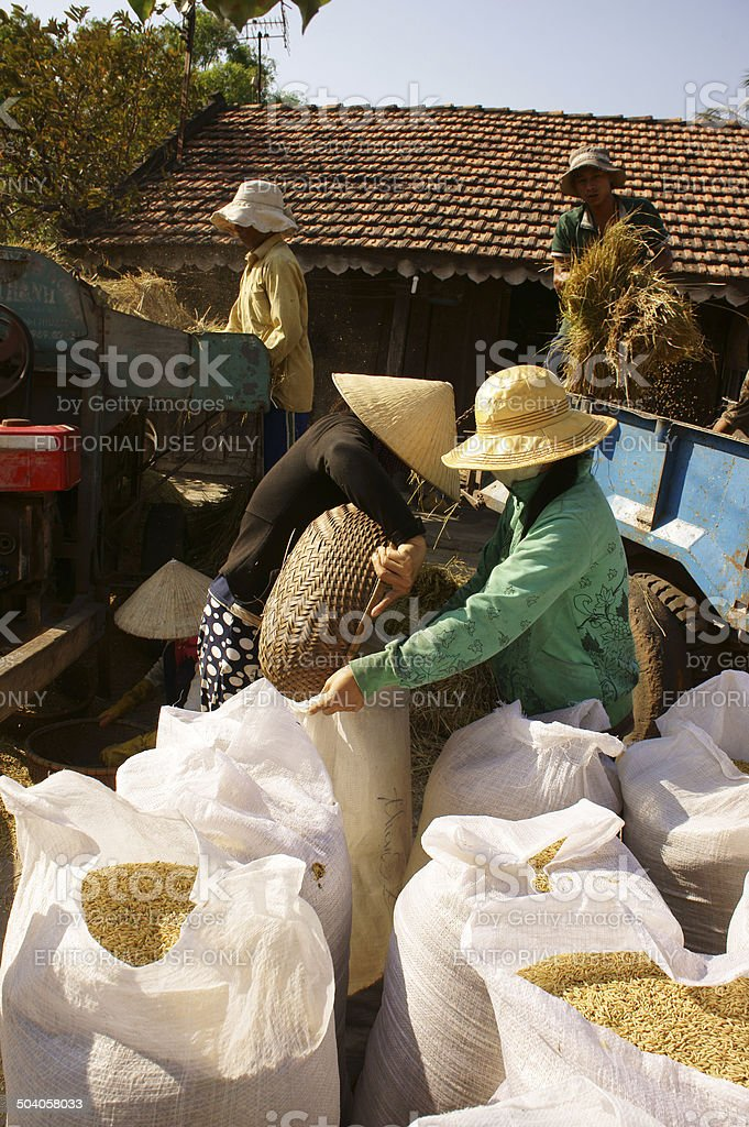 farmer harvesting paddy grain by threshing machine stock photo