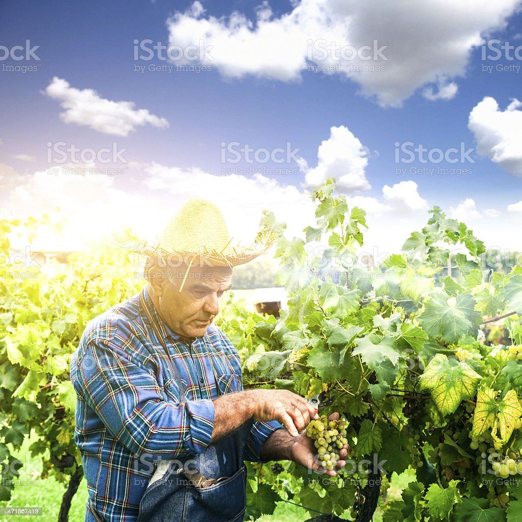 Farmer harvesting the grapes in a vineyard royalty-free stock photo