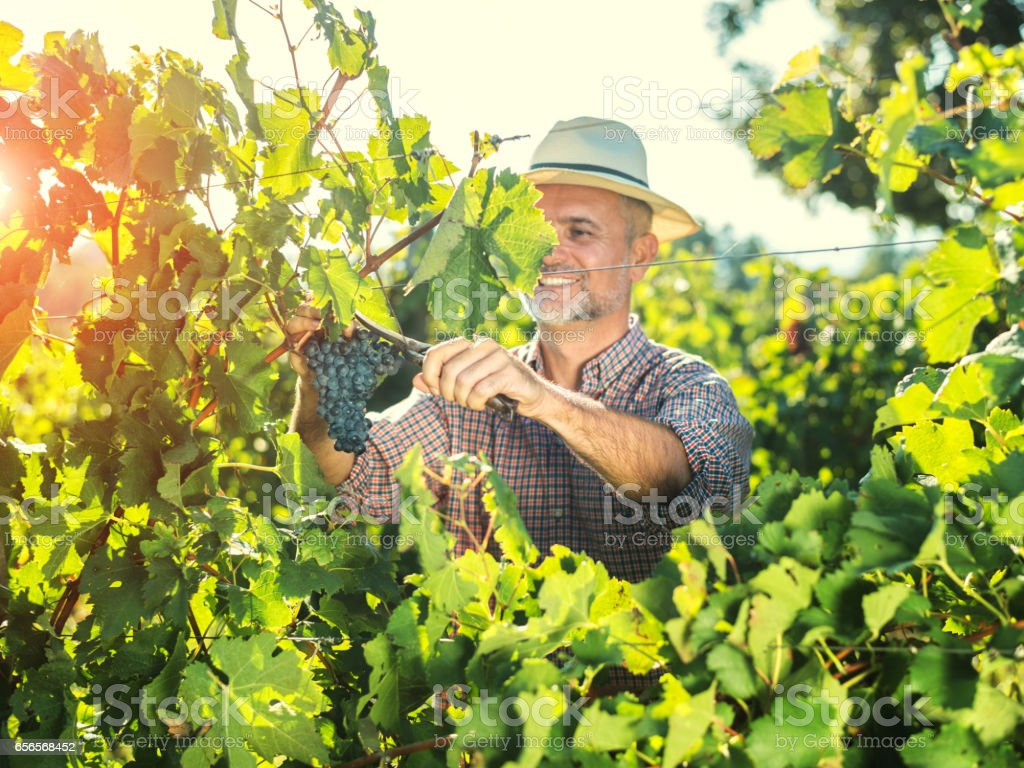 Farmer harvesting the grapes in a vineyard stock photo