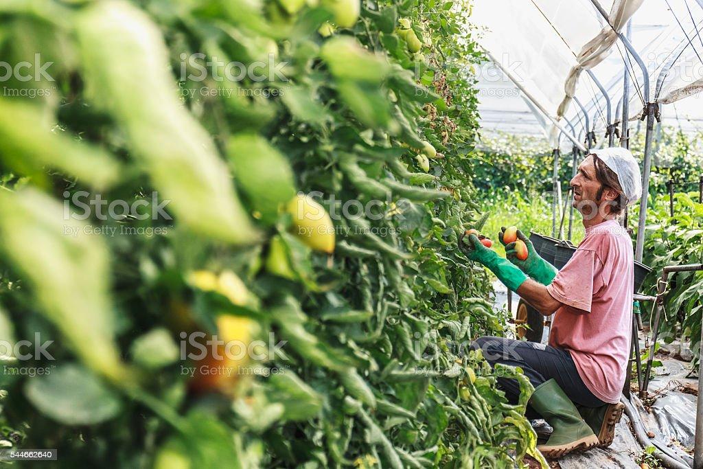 Farmer harvesting tomatos stock photo