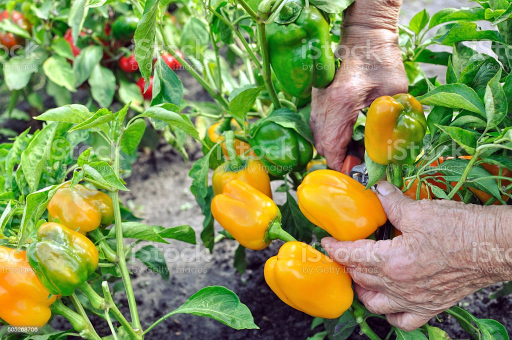 farmer harvests ripe peppers stock photo