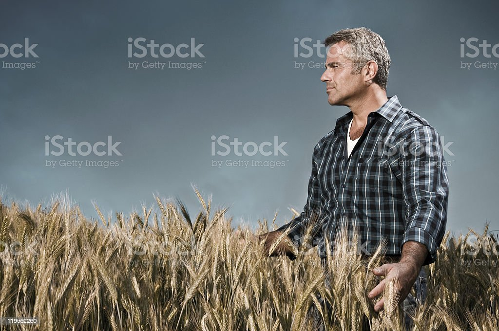Farmer has care of his wheat field royalty-free stock photo