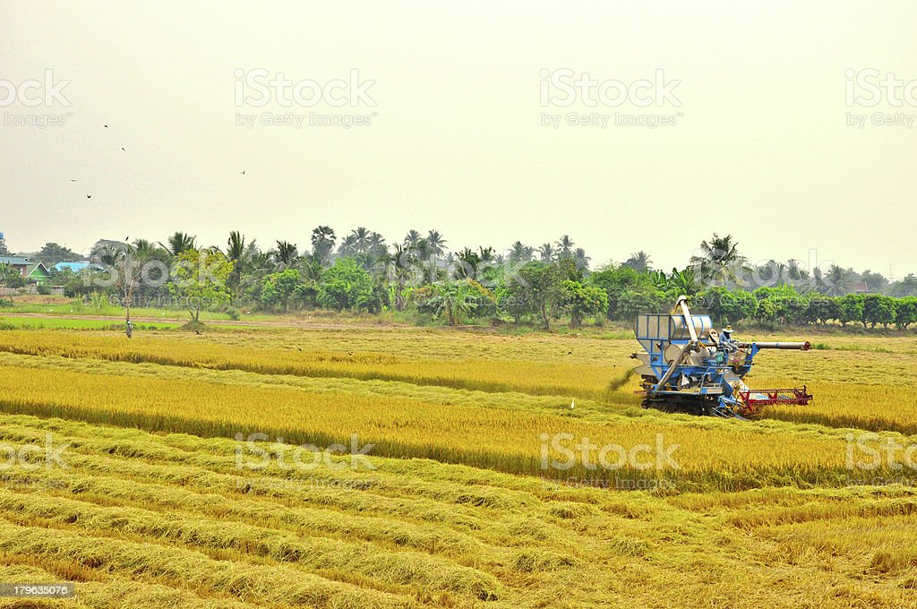 farmer have a good harvest of rice royalty-free stock photo