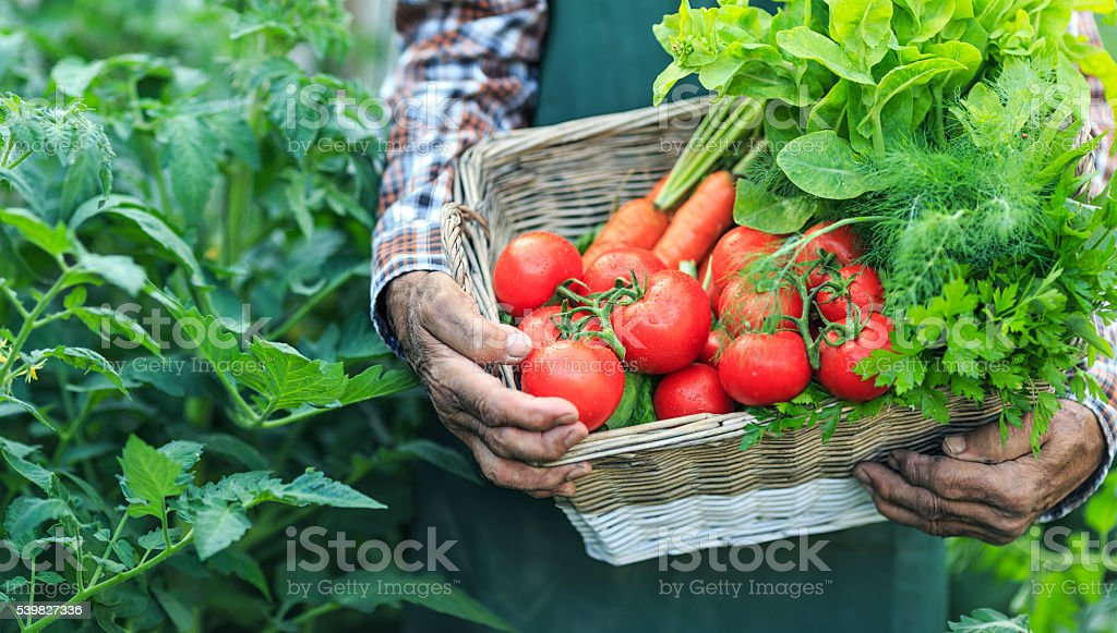 Farmer holding a basket with fresh vegetables, close-up stock photo