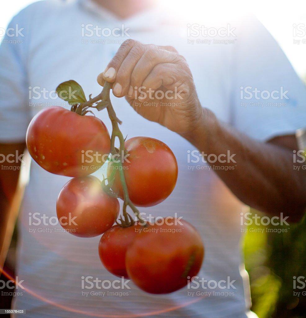 Farmer holding a handful of fresh vine ripened organic tomatoes stock photo