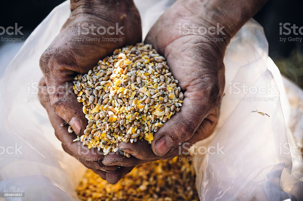 Farmer holding a handful of grain stock photo