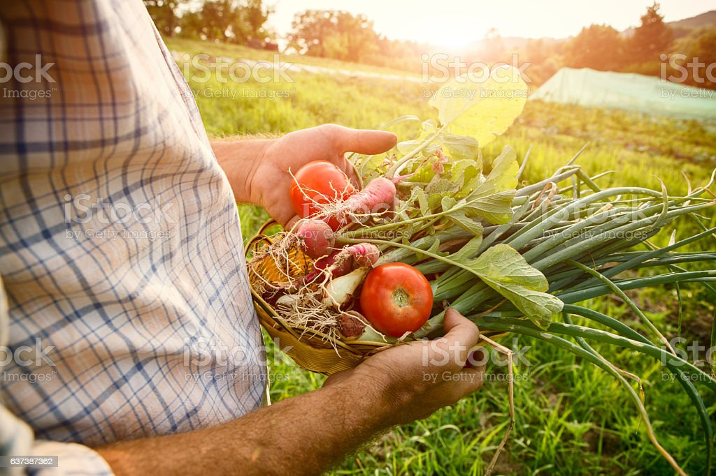 Farmer holding fresh picked vegetables stock photo