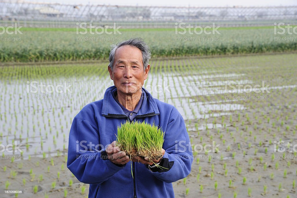 Farmer Holding Fresh Rice royalty-free stock photo