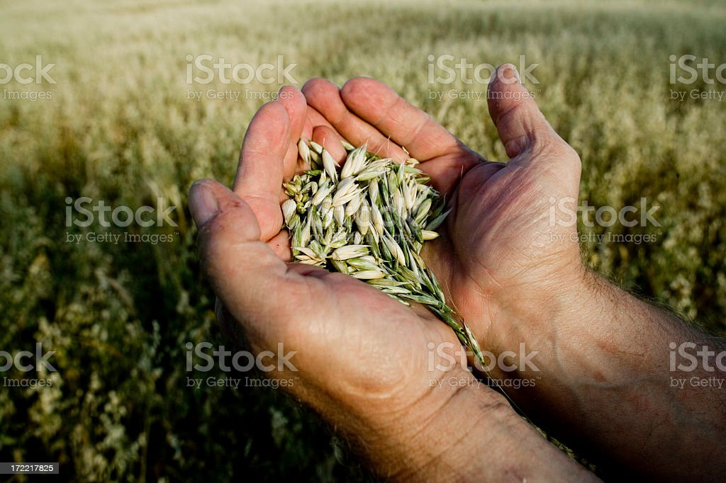 Farmer holding grain stock photo