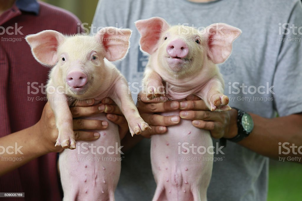 Farmer holding on hands young piglet stock photo