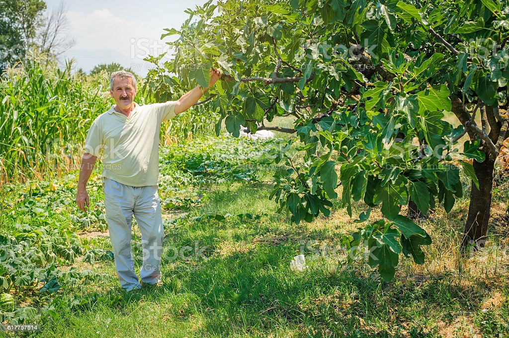 Farmer holding organic figs in his orchard stock photo