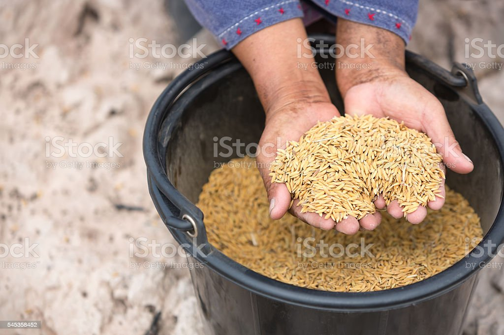 Farmer holding rice seed in her hands stock photo