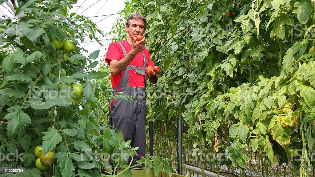 Farmer Holding Ripe Tomato stock photo