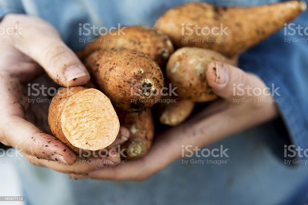 Farmer Holding Some Fresh Sweet Potatoes stock photo