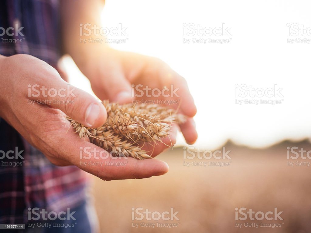 Farmer holding stalks of wheat in hands in a field stock photo
