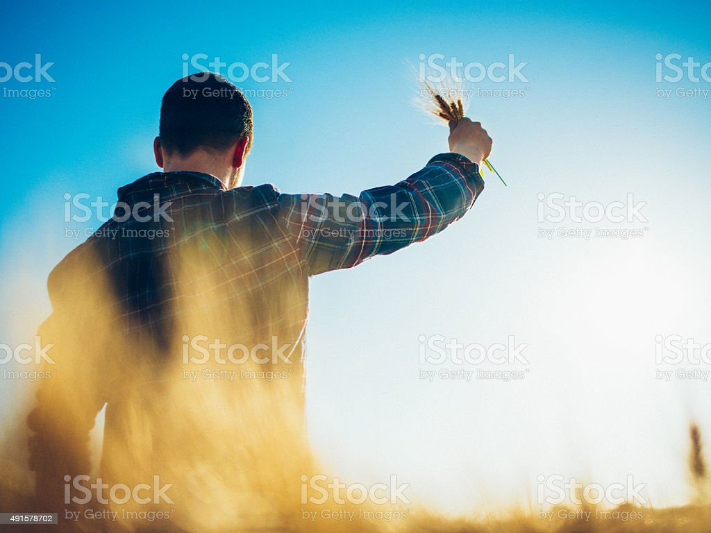 Farmer holding up wheat in a field with blue sky stock photo