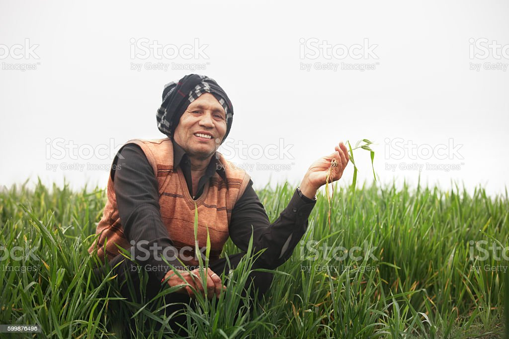Farmer holding wheat plant stock photo