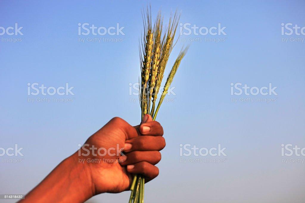 Farmer Holding Wheat Plants stock photo