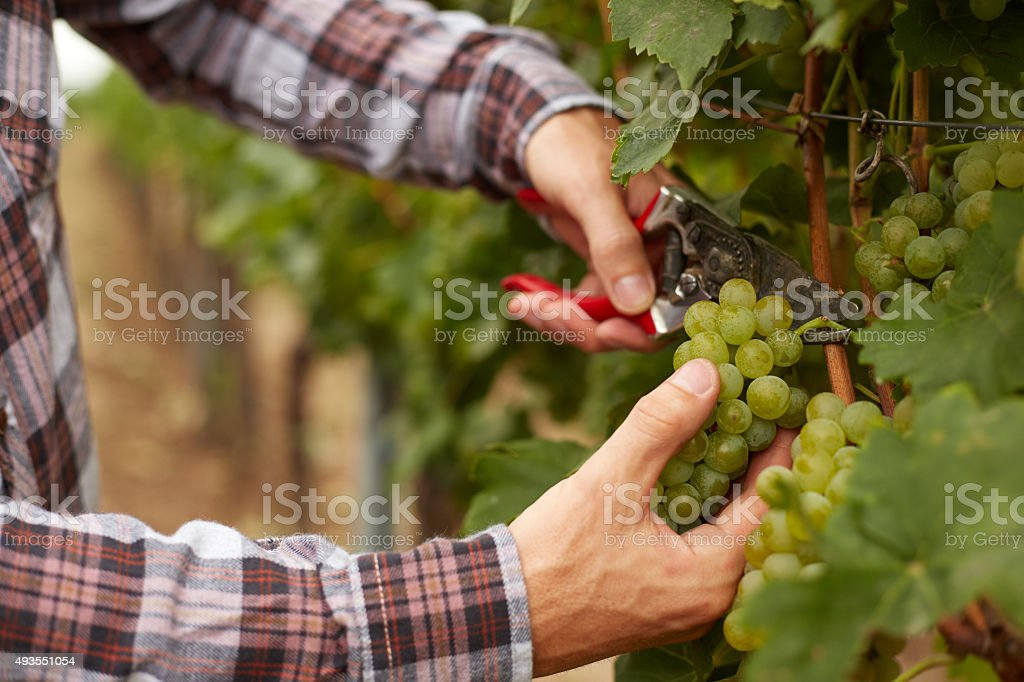 Farmer holds gardening scissors in hand and harvested grapes stock photo