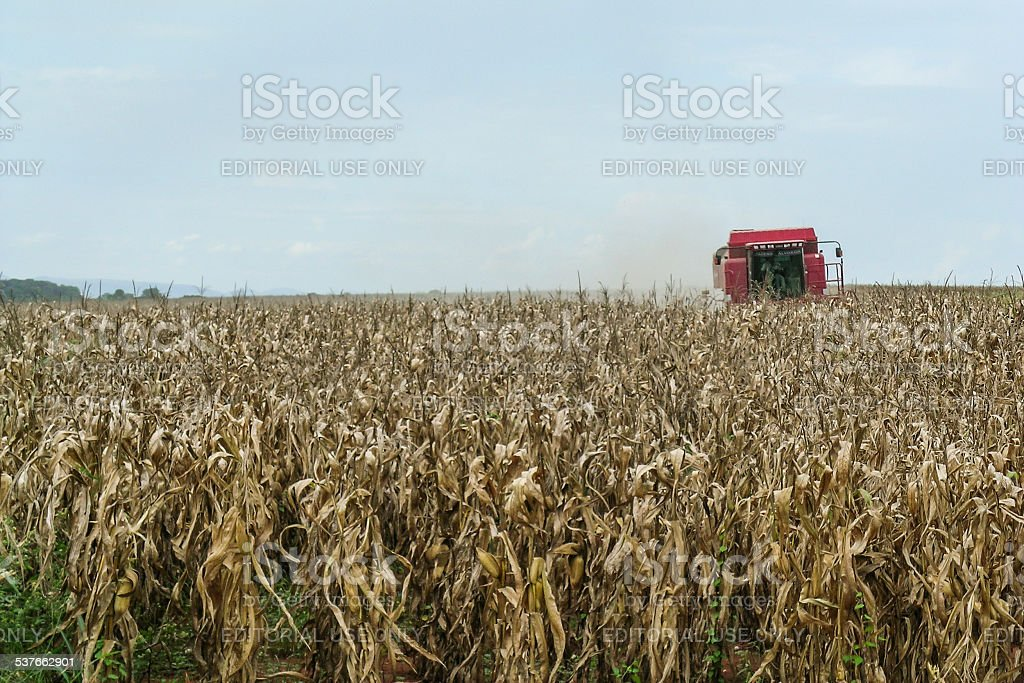 Farmer in a combine harvesting corn stock photo